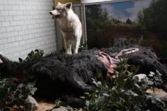 032-Wolf-met-gedode-koe